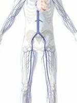 Venen, Krampfadern, Anatomie